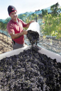 Pinot Noir Grapes, Grape Harvest